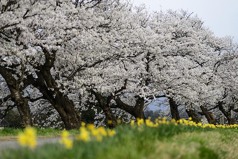 Japan, Toyama. Apr/12/2015. Cherry Blossoms in Osawano and Ohyama.