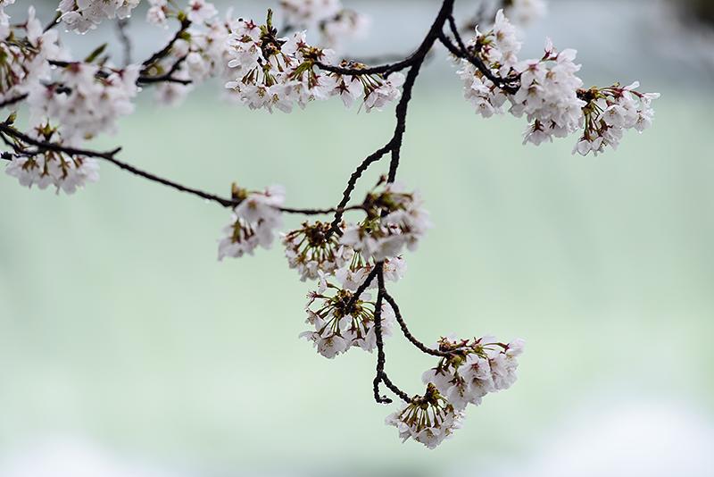 Japan, Toyama. Apr/14/2015. Cherry Blossoms in Ohyama.